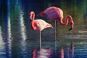 picture of pink flamingos  - Two pink flamingos standing in the water with reflections - JPG