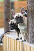 pic of french bulldog puppy  - two adorable french bulldog puppies outdoors in summer - JPG
