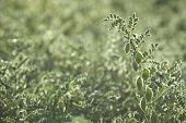 stock photo of pea  - Peas plantation backlit by the sun