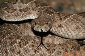 image of coil  - Western Diamondback Rattlesnake  - JPG