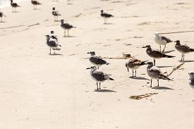 stock photo of flock seagulls  - A flock of seagulls feeding in the wet sand - JPG