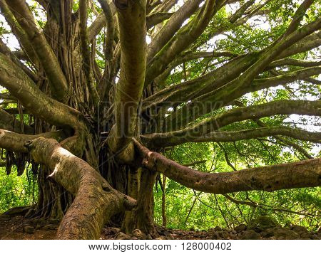 Old tree with multiple branches growing to the ground for support in the rain forest, Maui, Hawaii, USA.