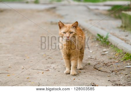Beautiful red-headed stray cat walking at the street and looking at camera in summer
