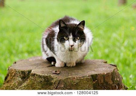 Beautiful angry black and white stray cat sitting on the stump and looking at camera in summer