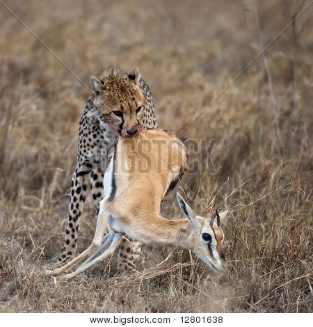 Cheetah carrying prey, Serengeti National Park, Tanzania, Africa