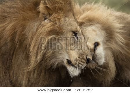 Two adult lions, Serengeti National Park, Serengeti, Tanzania