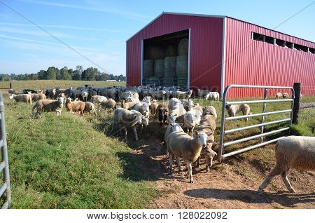 Flock of sheep with red barn in background