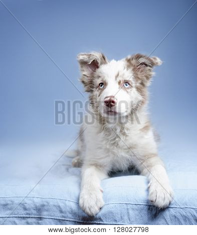 blue-eyed marble puppy border collie on blue background