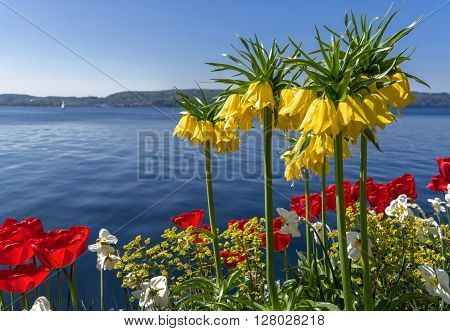 Yellow crowns imperial and red tulips blooming in a flowerbed at a lake in spring. Taken at Lake Constance, Germany.