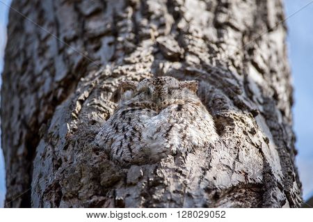 Eastern Screech Owl resting in the hollow of a tree.