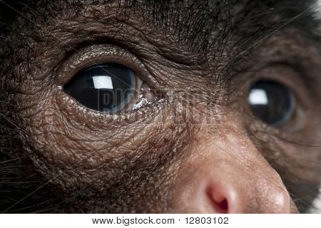 Close-up of Red-faced Spider Monkey, Ateles paniscus, 3 months old