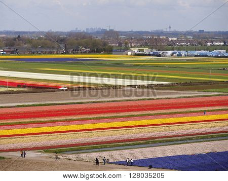 Beautiful spring tulip bulbs farm at Keukenhof and Lisse Dutch city one of the famous tourist spot of Netherlands