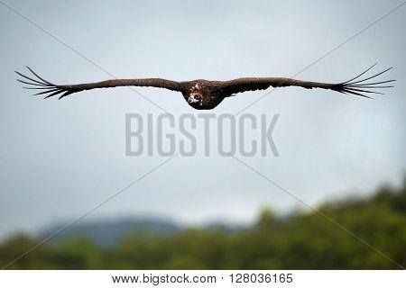 Black vulture in flight over its natural habitat