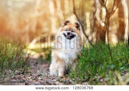 adorable red spitz dog posing outdoors in spring