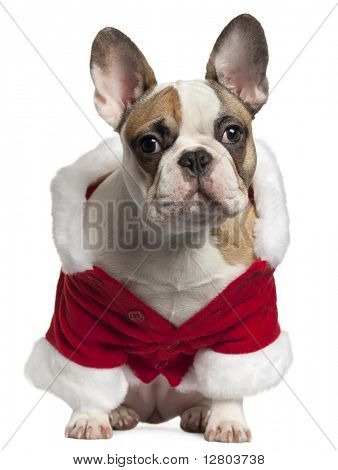 French bulldog in Santa outfit, 7 months old, sitting in front of white background