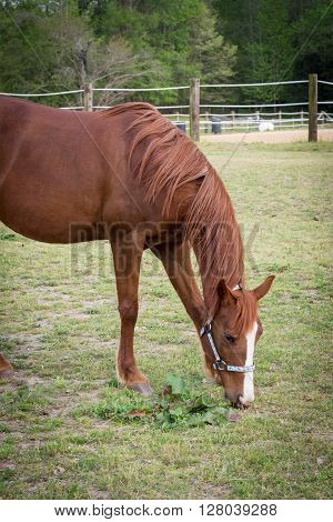older Arabian brown and white mature horse in pasture eating vegetation grass standing still on ranch