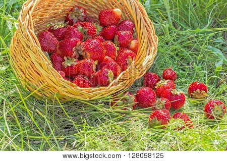 Overturned basket with red ripe strawberries in the summer grass in evening sunlight