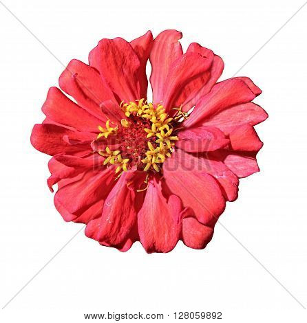 Hibiscus, red flower isolated on white background, floral close up, hibiscus rosa, blossoming red flower of tree like Hibiscus, pink tropical flower,red exotic flower, tropical garden, isolated flower