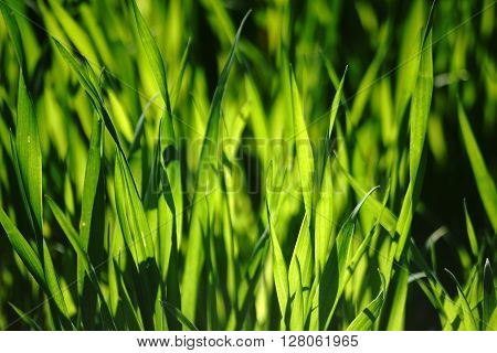 The close-up of blades of grass against the light which are flooded with light.