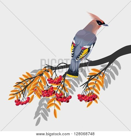 Vector illustration of waxwing on rowan branch on watercolor background