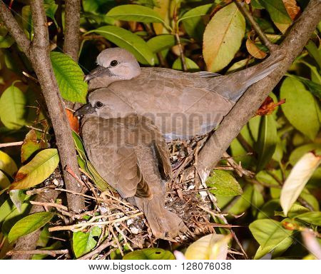 Dove share several positions while setting on the nest.