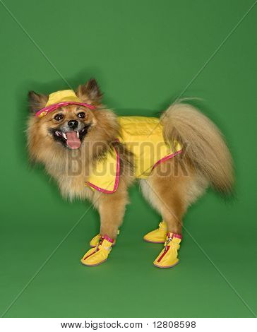 Brown Pomeranian dog wearing rain gear.