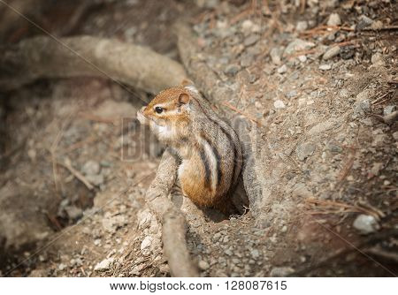 Little baby chipmunk got out from his nest and looking around in park