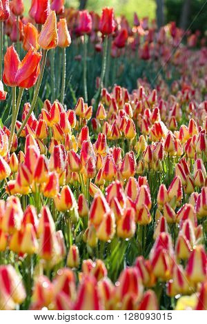 Tulips soaked in dew awakening under the morning sun.