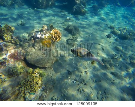 Pufferfish and coral reef, fugu fish, dangerous fish with poison, underwater animal, sea bottom with corals and fishes, puffer fish closeup, yellow seaweeds and coral fish fugu