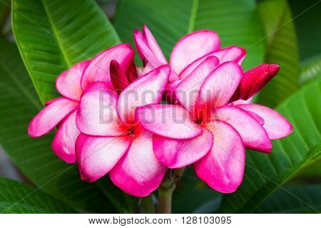 Plumeria flowers are pinkish white color in the spring. Thailand.