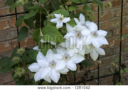 Snow White Clematis Bloom