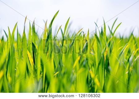 Close view on the young green wheat field