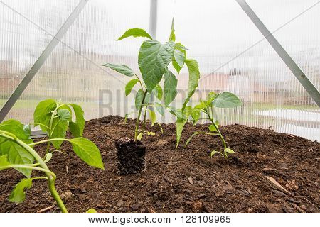 Seedling Paprika (Capsicum Peppers) Plants with root System between planted Paprikas in Small Greenhouse Springtime
