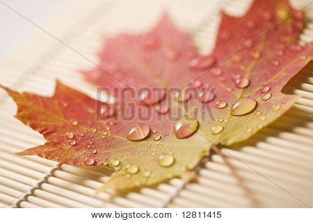 Sugar Maple leaf  in Fall color sprinkled with water droplets resting on bamboo mat.