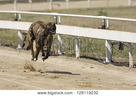 Running Racing Greyhound Dog On Racing Track