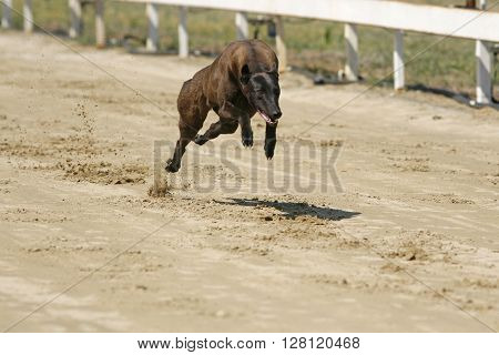 Young Greyhound Running On A Ttraining Full Speed