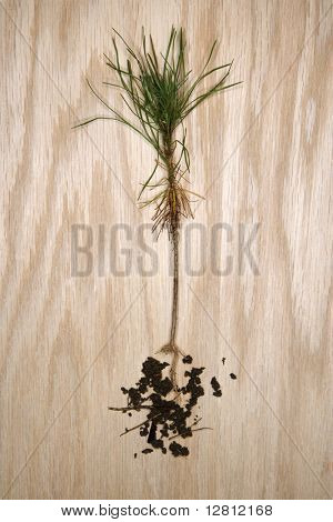 Unearthed pine sapling with roots exposed.
