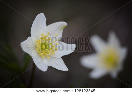 blossoming wood anemones, thimbleweed,windflower or anemone nemorosa ** Note: Soft Focus at 100%, best at smaller sizes
