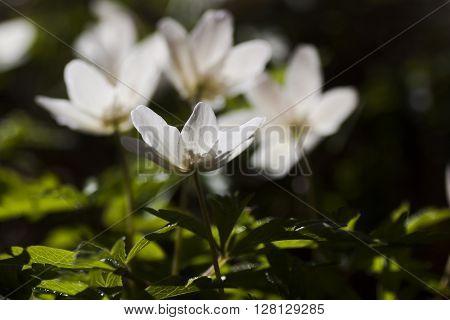 white wood anemones in full bloom in spring