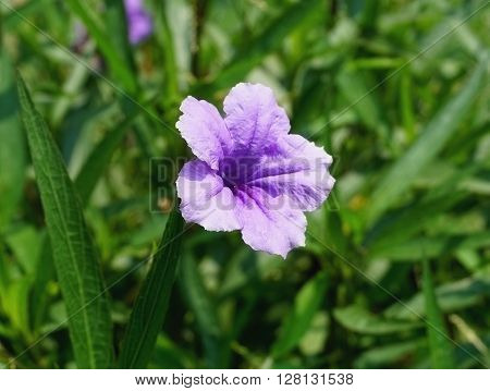 Violet purple Ruellia tuberose(Acanthaceae) flower in the sun