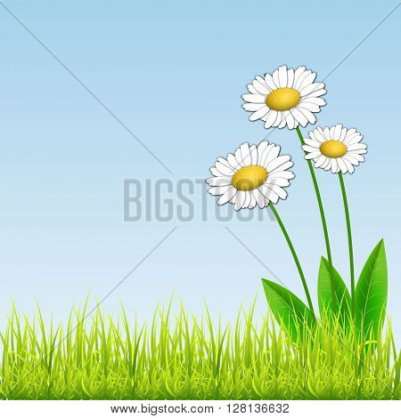 White camomiles. Floral background. White flowers on blue background. With space for text. Vector Illustration