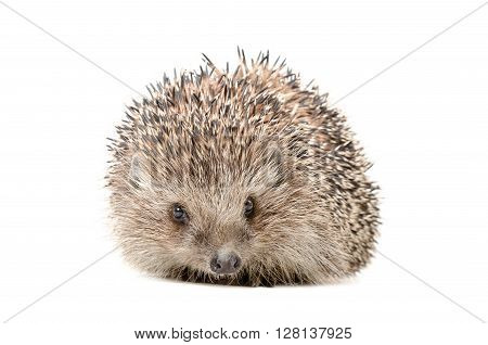 Portrait of a hedgehog sitting isolated on white background