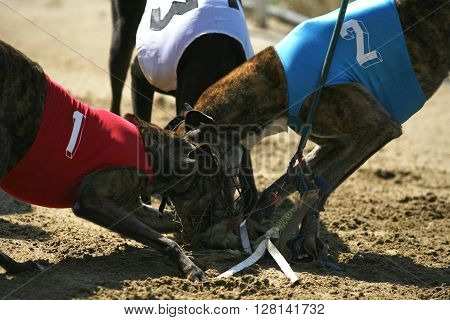Greyhounds Caught The Rabbit On The Race