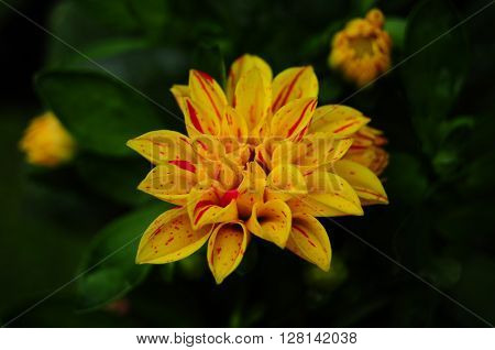 Dahlia flower in yellow, summer garden - expresses dignity and elegance