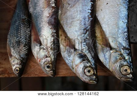 Four freshly caught fish sabrefish and roach