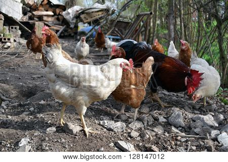 flock of hen in farm look for a worms