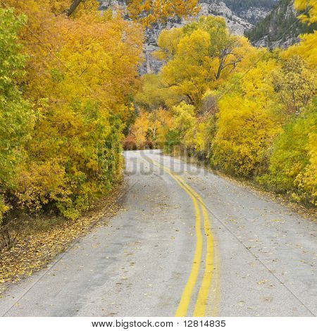 Country road with yellow Aspen trees on both sides.