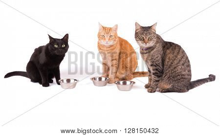 Three cats sitting behind their food bowls, waiting for dinner, on white