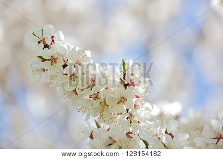Apricot blossom in Himalayas
