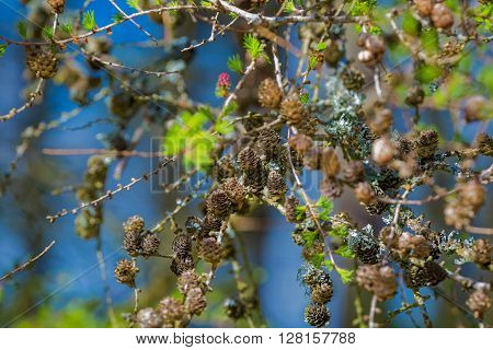 Larch cones on branch in a sunny day